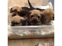 Yorkshire terrier cross pups