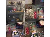 3 rats + HUGE CAGE AND COLLECTION