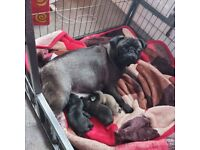 Pug puppies kc