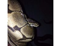 adult male spider ball python