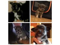 2 chihuahua pups for sale (boys)