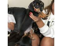 Dachshund Puppies! Ready to go!