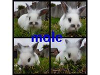Male lion head bunny rabbit