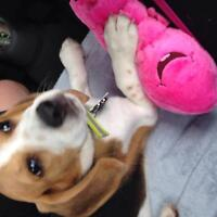 13 Week old Male Purebred Beagle Puppy for Sale