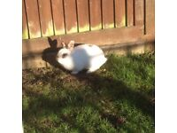13 month old rabbit and hutch