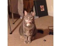 reward offered - missing cat the ridgeway, enfield EN2