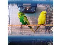 Exhibition lutino budgie for sale