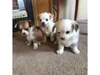 3 gorgeous long-haired Chihuahua puppies