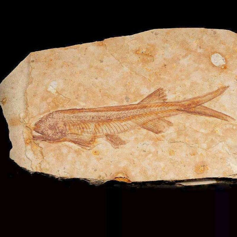 Lycoptera Fish Fossil Real 140 Million Years Ago from West Liaoning China