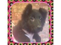 Long haired Black German Shepherd puppy