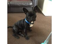 Nine months old French bulldog For sale