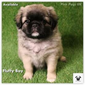 3 Pups Available, Stunning Litter of 6 Pug Puppies for sale