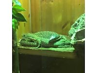 Pair of dwarf Timor monitors