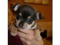Exceptional KC Champion Chihuahua Pups ready - 26.09.20