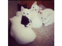 Beautiful gentle and confident british short hair x kittens for sale