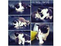 Male Black&White BSHX Kitten for Sale
