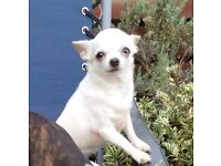 2 Adult Chihuahua Female Sisters White/Parti