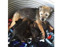 Lovely Border Terrier puppies