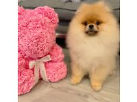 Teddy Bear Pomeranian puppy