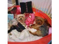 Yorkshire terrier pupies
