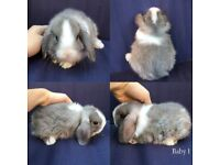 Baby mini lop x dwarf lop eared rabbits