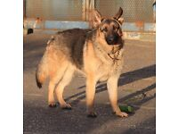 German Shepherd.....ADORABLE AND LOVING. NEEDS A NEW HOME
