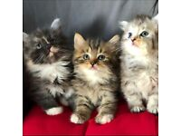 Fluffy kittens for sale, Ready to leave