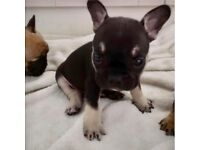 French bulldog boy ....Here he is