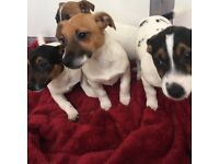 💥💥 Jack Russell Puppies💥💥