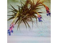 Air Plants x 2 (Tillandsia) - Ideal and unusual house plants!