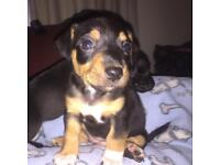 Mini Jack Russell x Patterdale puppies