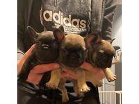 KC Standard French Bulldog puppies, ready 4th November