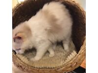 Lovely Seal Tortie Bi-colour Pedigree Ragdoll Kitten
