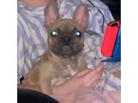 Lilac fawn French bulldog boy