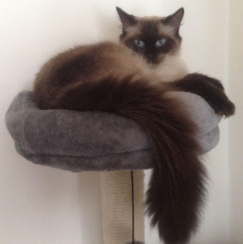 American Ragdoll Cat 18 months spayed needing a home