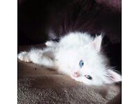 X Ragdoll White Long Hair Kitten