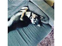 Female husky cross missing since 25/07/18