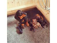Beautiful KC registered miniature dachshund puppies