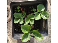 Strawberry Plant for sale