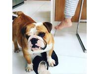 KC registered bulldog puppies