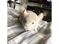 Baby male chinchilla