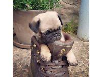 Kc pug pup