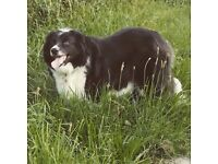 Border collie for rehoming