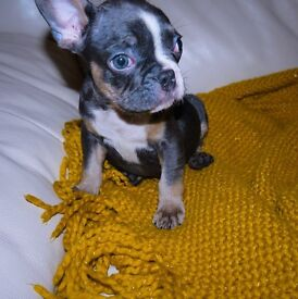 Blue & Tan, Blue Fawn Sable French Bulldog Puppies for Sale!!!