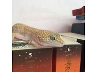 Albino female leopard gecko