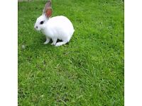 Very beautiful white bunny for £15