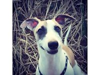 5 month old Whippet cross Puppy