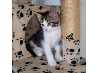 Kittens, beautiful tabby kittens for sale