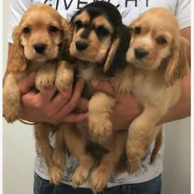 Beautiful show-type cocker spaniel puppies