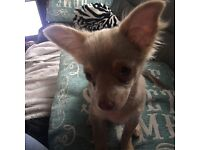 Boy chihuahua forsale kc Reg lilac 18 weeks house trained good with other dogs and cat